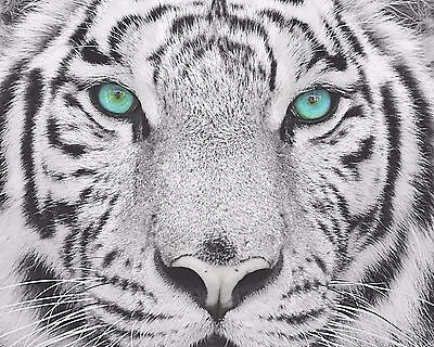 $19.75 • Buy Teal Gray Black Wall Art Photo Print White Tiger Home Room Decor Picture Matted