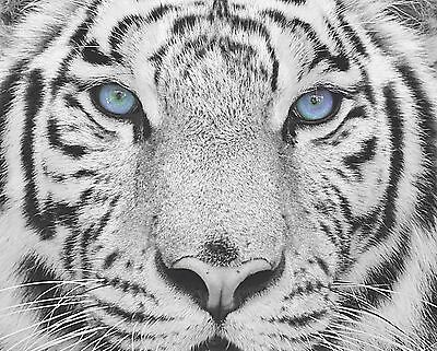 $19.75 • Buy Blue Gray Black Wall Art Photo Print White Tiger Home Room Decor Picture Matted