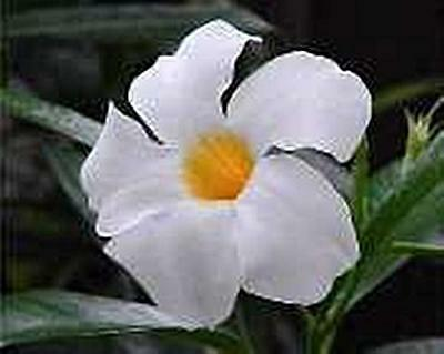 $12.98 • Buy Mandevilla Chilean Jasmine Seeds
