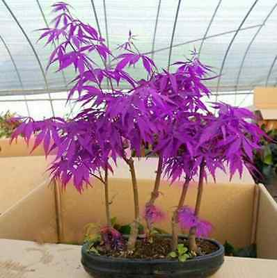 Purple Japanese Ghost Maple Bonsai Acer Seeds Rare Unusual Stunning Garden Plant • 4.79£