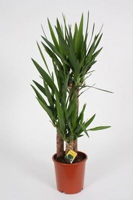 Yucca Tree With 3 Stems.  Tall Plant At 95cm. • 42.99£