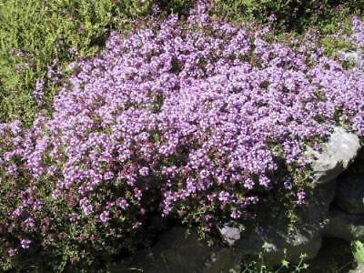 Thyme - Purple Creeping  Seeds - Grow Your Own Thyme - Bees Love These Flowers • 2.49£