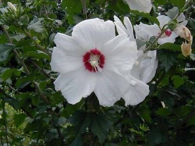 Hardy Hibiscus Seeds Compare Prices On Dealsancom
