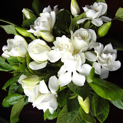$2.03 • Buy 100pcs Gardenia CAPE JASMINE Jasminiodes White Shrub Flower Seeds Plant Ga Deko