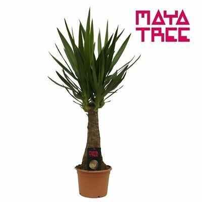 Yucca 'Maya' Tree. House Plant, 60cm Tall. Rarely Offered • 39.99£
