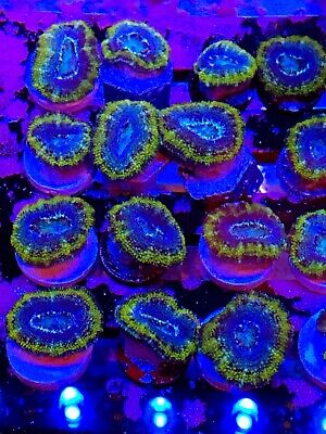 $39.99 • Buy Coral Frag Acan Lord Blue And Gold Yellow LPS Rare Color Brain Micro Type Nano