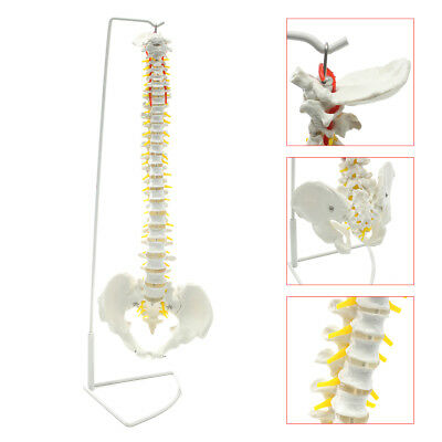 $52.34 • Buy Life Size Flexible Anatomical Human Skeleton Spine Model + Stand 73cm