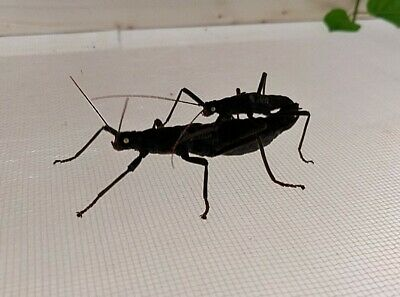 Black Beauty Velvet - Peruphasma Schultei Eggs - Ova X 10 Stick Insects Fertile • 1.85£