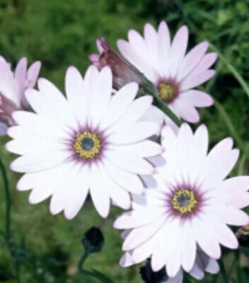Osteospermum Jucundum (African Daisy) FREE DELIVERY ON 5 OR MORE OF ANY PLANTS • 4.47£