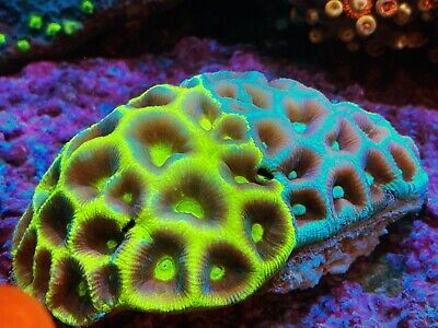 $269.99 • Buy Coral Frag Double Goniastrea Brain LPS WYSIWYG Combo Favia Acan Micro Type