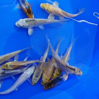 £70 • Buy Live Ghost Carp 5CM   Ghost Carp Mix FREE DELIVERY