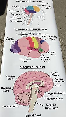 $30 • Buy Human Body Regions Areas Of The Brain Sagittal View Anatomical Medical Poster
