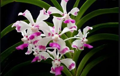 AU22.75 • Buy Orchid. Collectable. Vanda Luzonica. Species.  Seedling