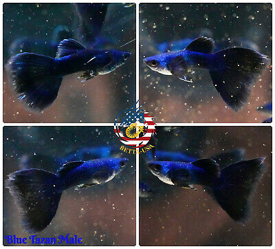 $19.95 • Buy MALE ONLY - Live Aquarium Guppy Fish High Quality - Blue Moscow - USA Seller