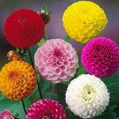 BUY 2 GET 1 FREE 120 Seeds Dahlia Pompon Double Mixed+4  FREE PLANT LABEL,annual • 1.99£