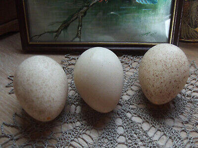 £15 • Buy 3 Pcs Turkey Blown Eggs Bird Taxidermy