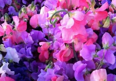 BUY 2 GET 1 FREE 160 Seeds Sweet Pea Royal Familymixed+4 FREE PLANT LABEL • 0.99£