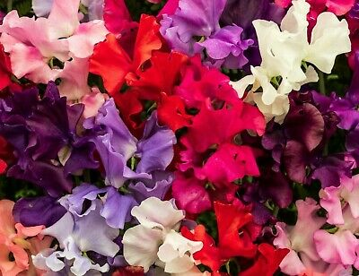 BUY 2 GET 1 FREE 60 Seeds Winter Sweet Pea Elegance Mixed+4 FREE PLANT LABEL • 1.80£