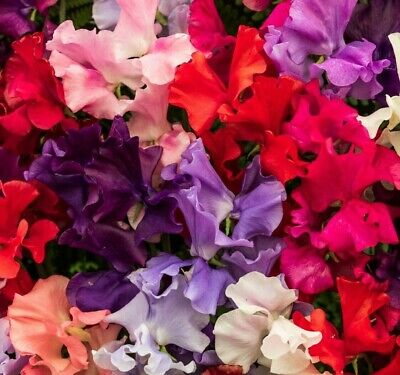 BUY 2 GET 1 FREE 240 Seeds Winter Sweet Pea Elegance Mixed+4 FREE PLANT LABEL • 6.50£