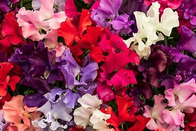 BUY 2 GET 1 FREE 30 Seeds Winter Sweet Pea Elegance Mixed+4 FREE PLANT LABEL • 0.99£