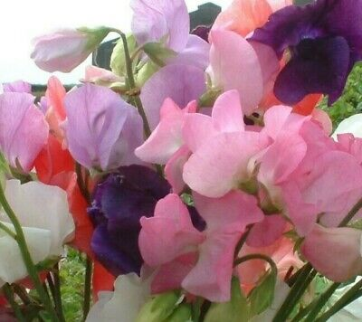 BUY 2 GET 1 FREE 80 Seeds Sweet Pea Mammoth Mixed+4  FREE PLANT LABEL • 0.99£