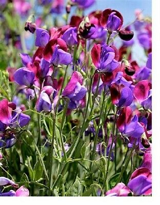 BUY 2 GET 1 FREE 40 Seeds Sweet Pea Old Spice Cupani+4  FREE PLANT LABEL • 0.99£