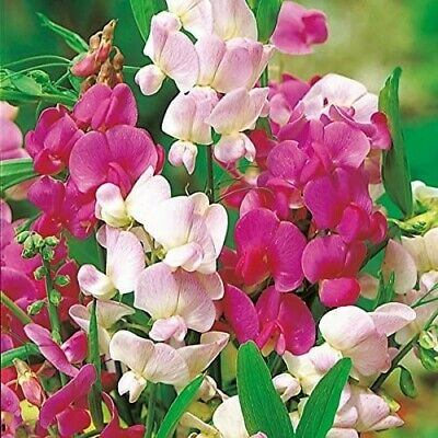 BUY 2 GET 1 FREE 320 Seeds Everlasting Pea Mixed+4  FREE PLANT LABEL • 3.99£