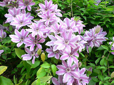 Clematis Nelly Moser Large Pink Flowers In Summer Climber Plant 9cm & 2L Pot • 14.50£