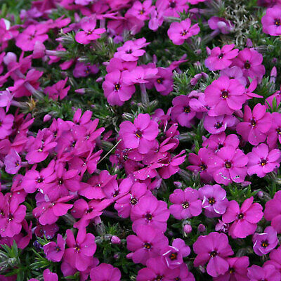 Phlox Douglasii Red Admiral Ground Cover Compact Flowering Alpine 9cm & 2L Pot • 13.25£