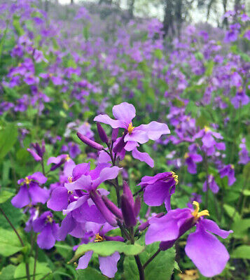 AU5.11 • Buy 100 Pcs Orychophragmus Violaceus February Orchid Seeds
