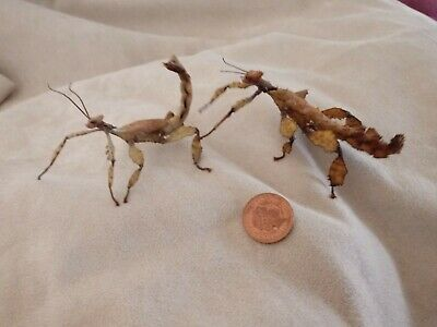 6 X Australian Stick Insects Youngsters Giant Prickly Macleays Spectre + 3 Eggs • 14.99£