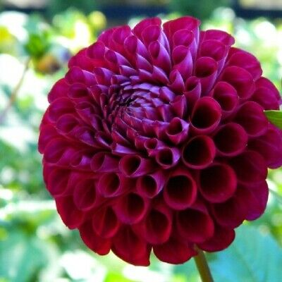 Dahlia Tubers - Ivanetti   -  Easy To Grow  Plant - Huge Blooms Many Flowers • 11.95£