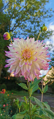 Dahlia Tubers -  Ferncliff Illusion  -  Easy To Grow Plant - Huge Blooms • 11.95£