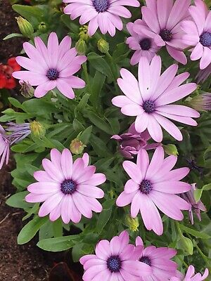 35 OSTEOSPERMUM AFRICAN DAISY SEEDS MIX White, Mauve, Purple, Includes Yellow • 1.95£