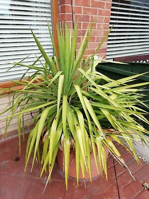 Large Outdoor Yucca Plant • 45£
