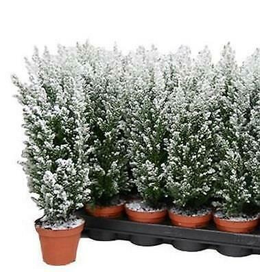 Mini Christmas Tree. Chamaecyparis Thys. Snow White In A 9cm Pot X 2 • 4.99£
