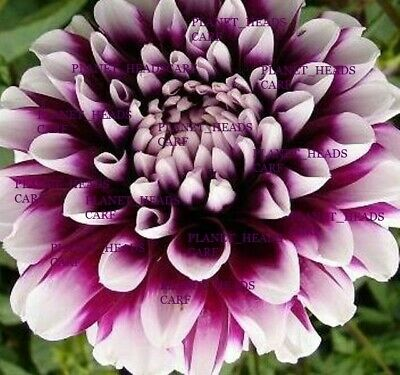 DAHLIA MYSTERY DAY PURPLE DINNER PLATE DAHLIA 2 TUBERS From Established Plant • 11.40£