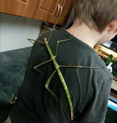 Stick Insect Eggs X15 (Phobaeticus Magnus) Giant Stick Insects. VERY RARE!!!  • 20£