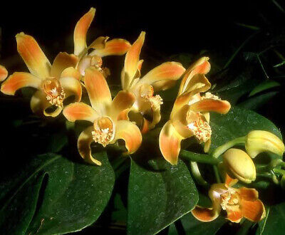 AU25 • Buy Species Orchid  - Chysis Tricostata