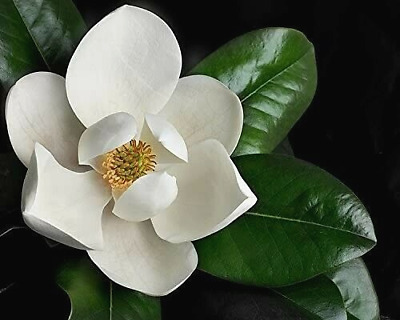 $9.99 • Buy 8 Cuttings Of Southern Magnolia Grandiflora Tree For Rooting, Grafting