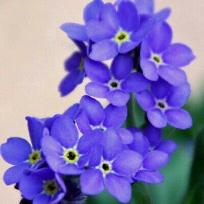 £0.99 • Buy 1000 Seeds FORGET ME NOT INDIGO BLUE+FREE REUSABLE PLANT LABEL