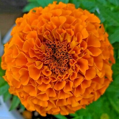 £1.05 • Buy 300 Seeds AFRICAN MARIGOLD TALL HAWAII+4  FREE REUSABLE PLANT LABEL