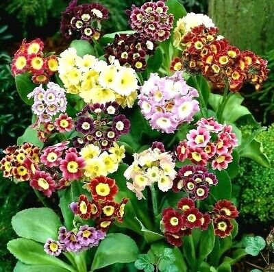 £0.99 • Buy 130 Seeds PRIMROSE AURICULA MIXED+4 FREE REUSABLE PLANT LABEL