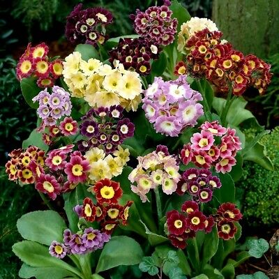 £3.50 • Buy 600 Seeds PRIMROSE AURICULA MIXED+4 FREE REUSABLE PLANT LABEL