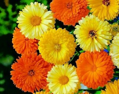 £0.99 • Buy  Calendula Pacific Beauty Mixed 1100 Seeds +4  FREE PLANT LABEL