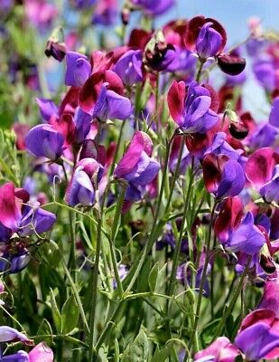 £3.50 • Buy 120 Seeds Sweet Pea Old Spice Cupani+4  FREE PLANT LABEL