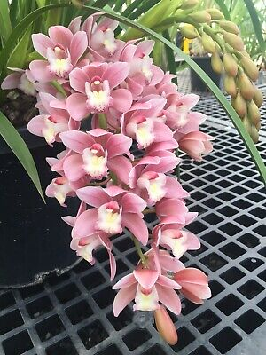 AU56 • Buy Cymbidium Orchids - New Century 'Rosie' - 4 Spikes