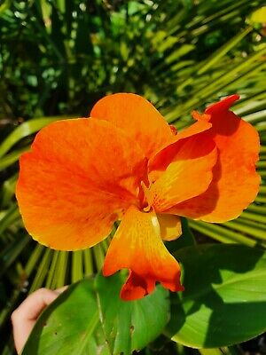 £15.50 • Buy 3X Canna Happy Cleo 9cm Flowering Hardy Patio Plant Short Easy Potted Sun Summer