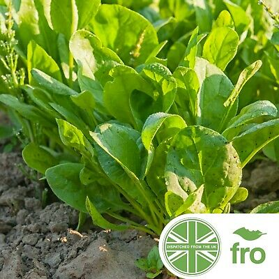 £2.79 • Buy Herb - Sorrel - 800 Seeds - Rumex Acetosa - FAST DELIVERY