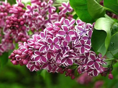 £56.99 • Buy Syringa Vulgaris Sensation Lilac Tree In A 7 Litre Container